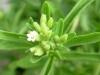 Stevia: extraordinaria plantamedicinal