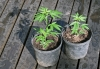 Marihuana: la planta medicinalprohibida
